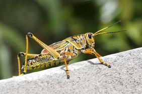 inventinsect-grasshopper-ryanward1200x90
