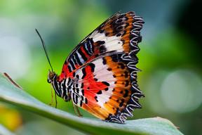 malay-lacewing-cethosia-hypsea-hypsina-s