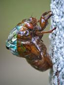 Cicada_Molting_Side_View.jpg