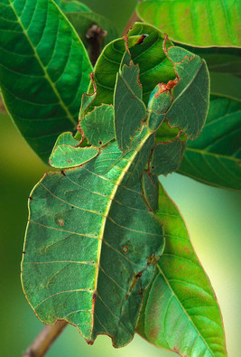 -phyllium-walking-leaf-insect-camouflage