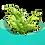 Thumbnail: Laitue de mer ( Ulva Spp.)