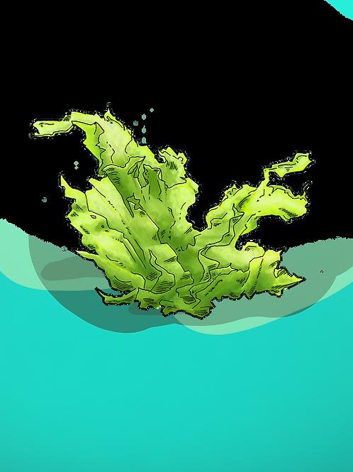 Laitue de mer ( Ulva Spp.)