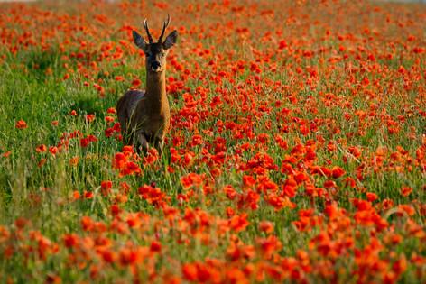 SL12_Buck Roe in amongst the poppies