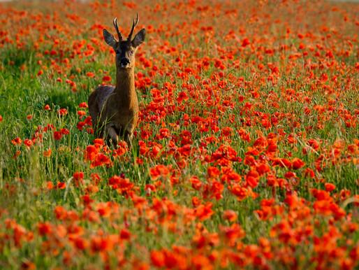 In Search of a Poppy Field