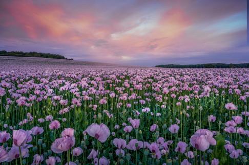 SL6_Dorset Opium Poppies