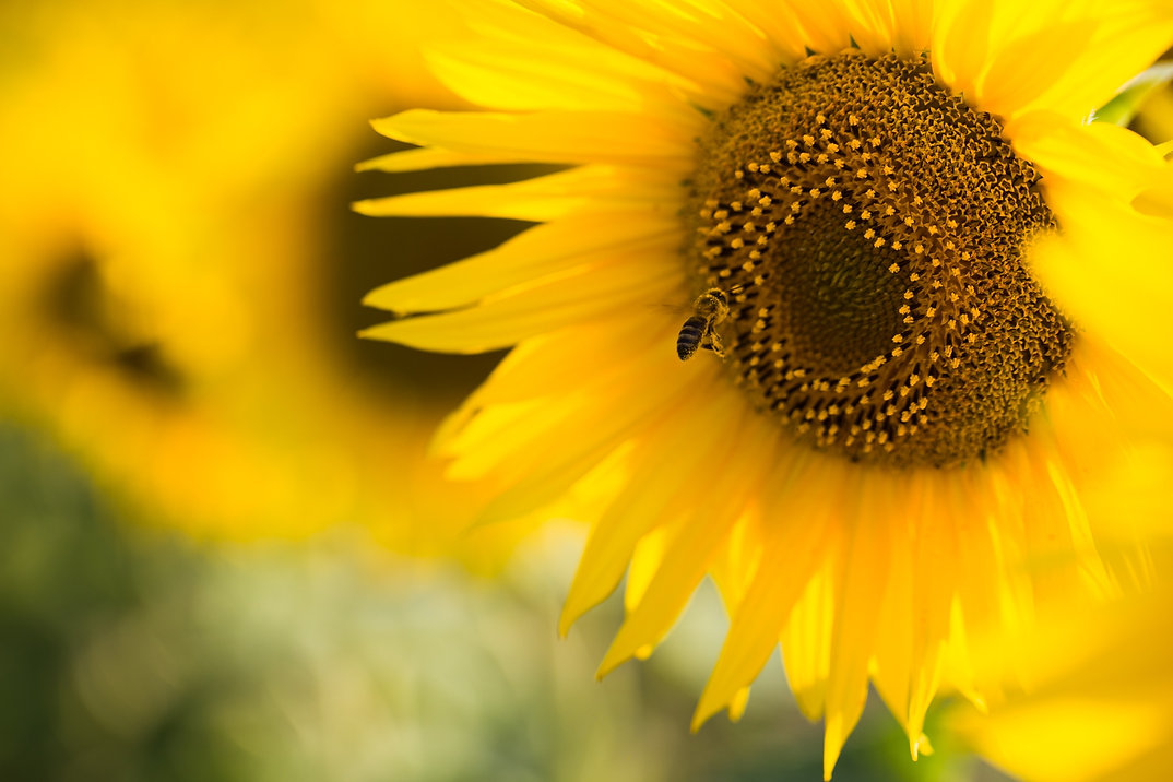 close-up-of-sunflower-on-field-PRQ5AWE_e