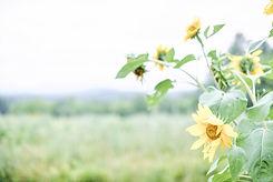 sunflowers-F2CUHFV.jpg