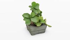 Broad Leaf Succulent