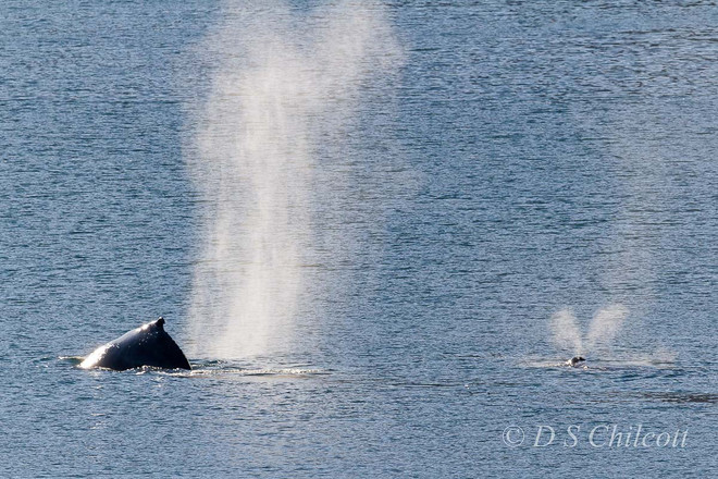 Humpback whale. Mother & calve