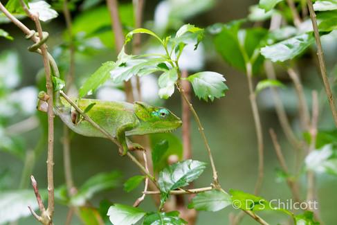Elephant-eared chameleon
