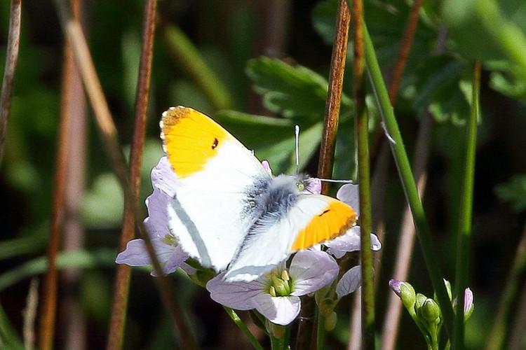 Orange-tipped butterfly