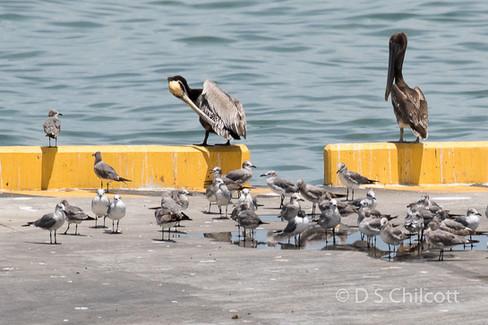 Laughing gull & Peruvian pelican