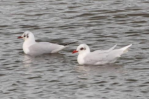 Black-headed gull & Mediterranean gull