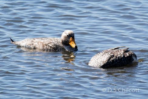 Falklands steamer-duck