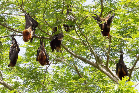 Mauritius flying fox