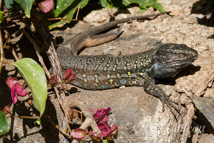 Tenerife lizard
