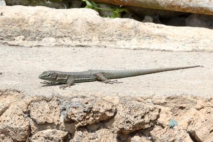 Madeiran lizard