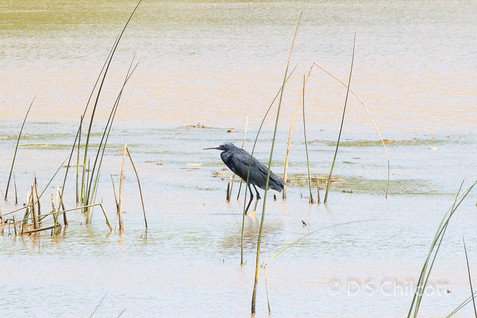 Slaty heron