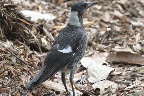 Austrailan magpie juvenile
