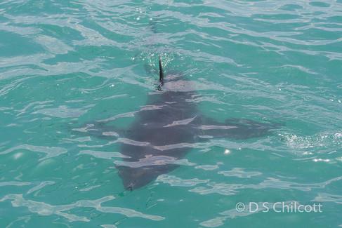 Great white shark (19).jpg