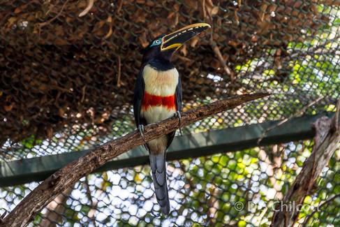 Chestnut-winged aracari