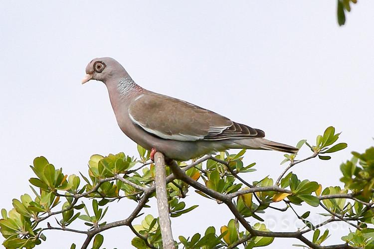 Bare-eyed pigeon
