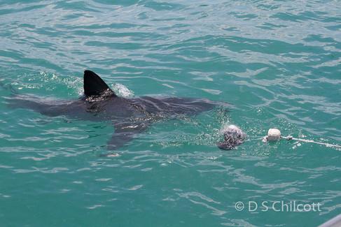 Great white shark (15).jpg