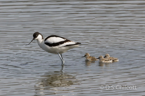 Avocet with chicks