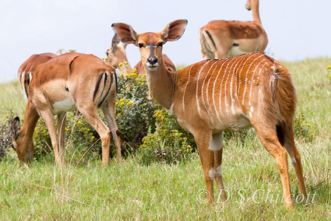 Bushbuck & Impala