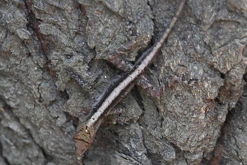Norpos cupreus