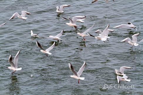 Slender-billed gull