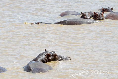 Hippopotamusi