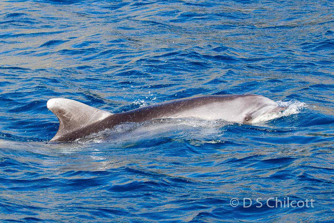 Bottelnose dolphin