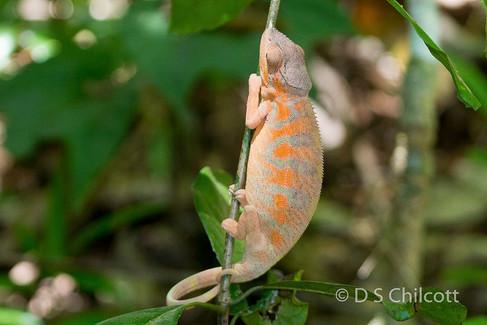 Chameleon speices