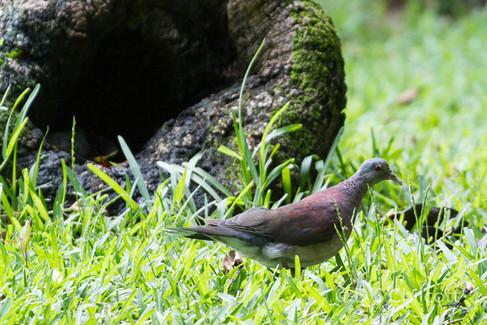 Malagay dove