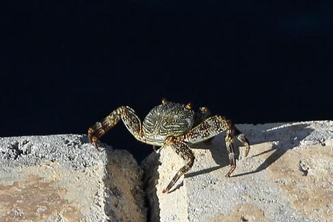 Crab s