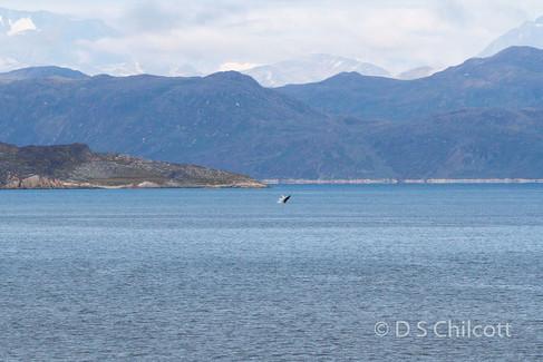 Distant humpback breaching