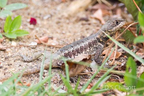 Amazon lava lizard