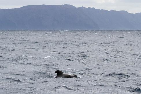Long-finned pilot whale