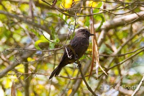 Vermillion flycatcher black morph