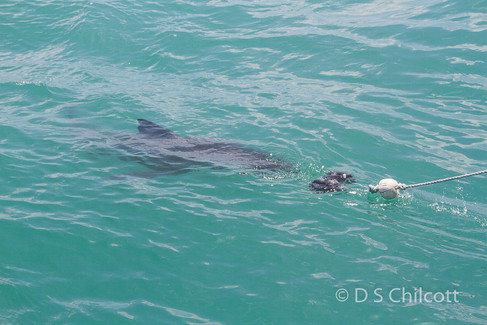 Great white shark (13).jpg