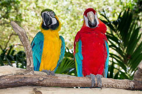 Blue and yellow & Scarlet macaw