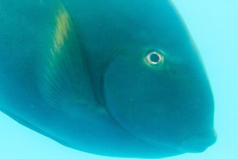 Australian fish sp
