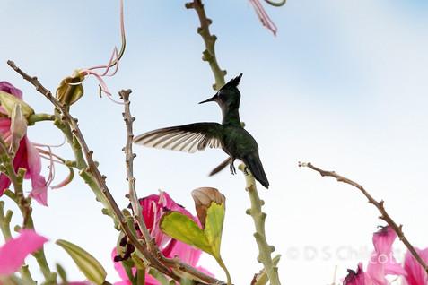 Antillean crested hummingbird