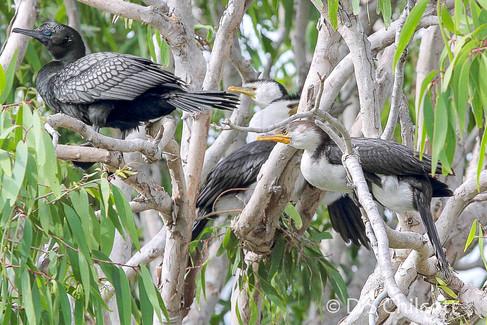 Little black & Pied cormorant