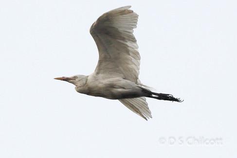 Catlle egret