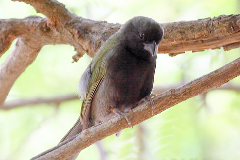 Black-faced grasquit