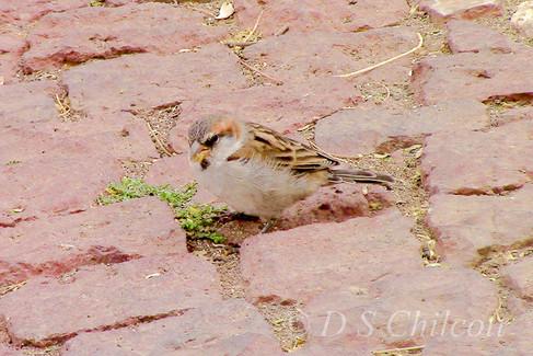 Cape Verde sparrow