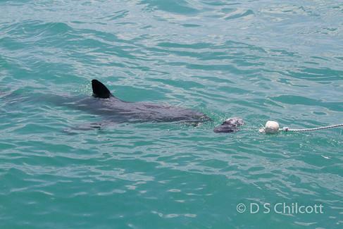 Great white shark (14).jpg