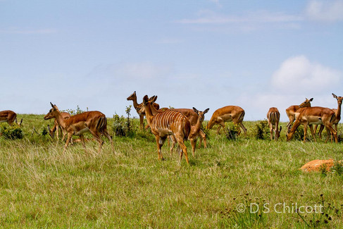 Bushbuck and impala
